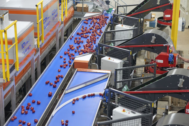 Apples along conveyer belt